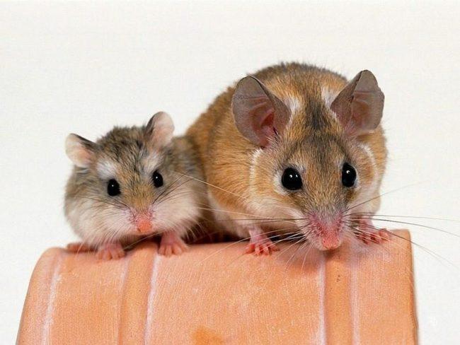 хомяк и крыса