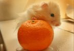 мандарин и хомяк