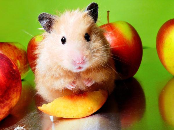 хомяк и яблочко