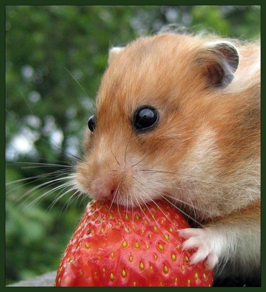 хомяк ест клубнику