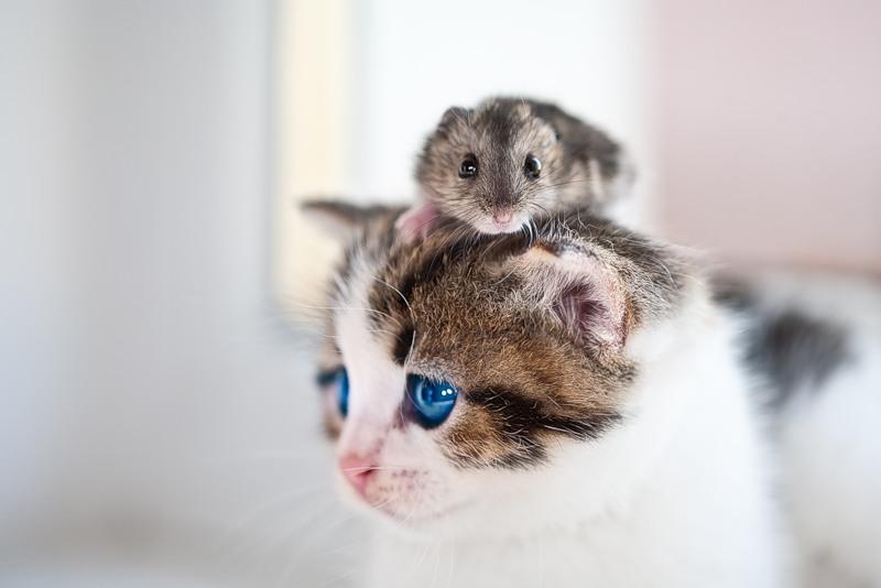 хомяк на голове у кота