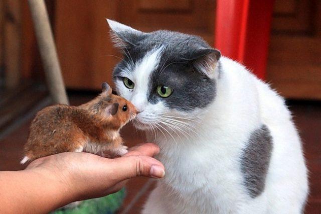 приучаем кота к хомяку
