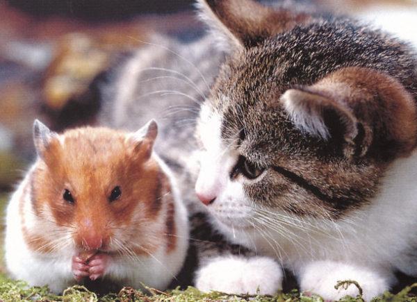 хомячок и кошка