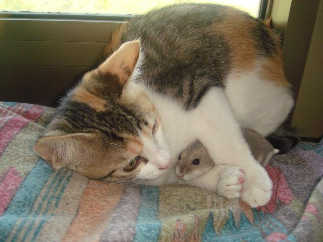 кот и хомяк вместе