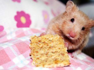 хомяк и печенье