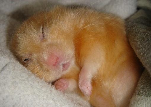 хомяк спит в одеяле