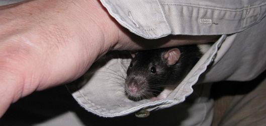 Крыса в рукаве