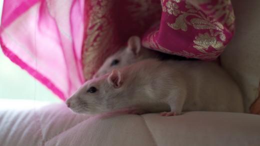 Крысы под пледом