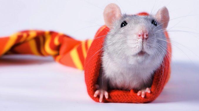 Крыса в чулке