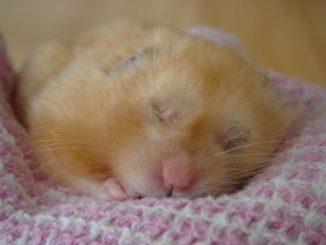 Хомячок сладко спит