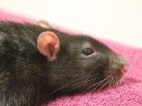 Крыса лежит на полотенце