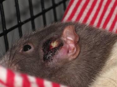 Абсцесс на голове у крысы
