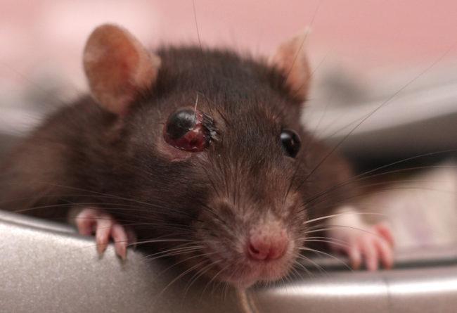 Гнойник за глазом у крысы