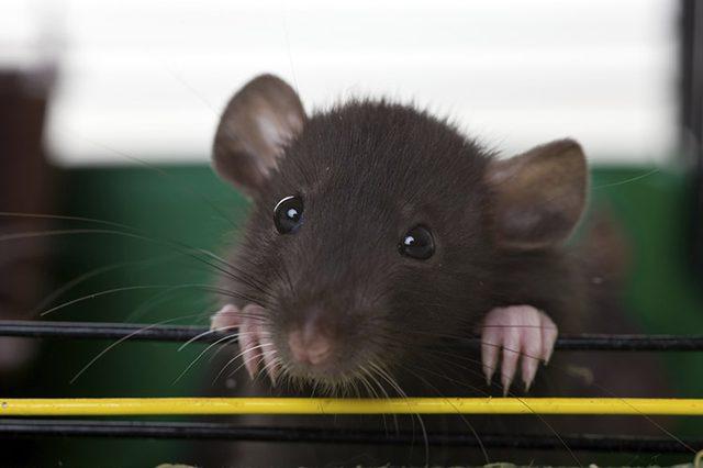 Черная крыса дамбо