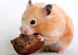 хомяк ест хлеб