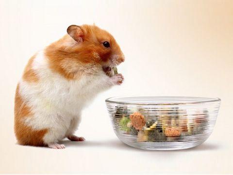 сирийский хомяк ест корм