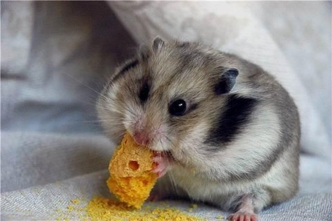хомяк есть печеньку