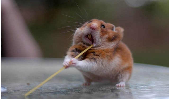 хомяк запихивает за щеку макаронину