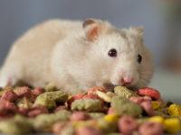 Хомяк ест гранулированный корм