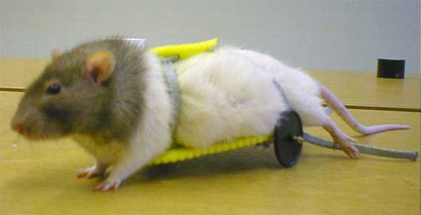Коляска для парализованной крысы