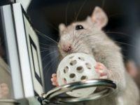 Крыса забрасывает мяч в кольцо