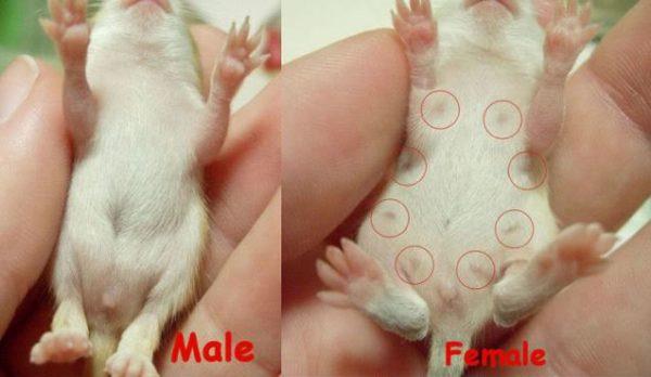 Как определить пол крысят