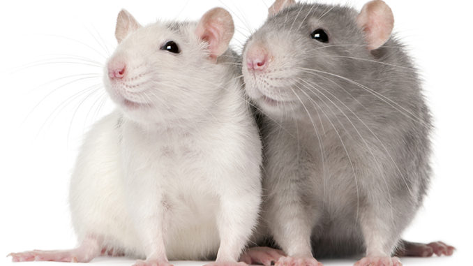 Две крысы вместе