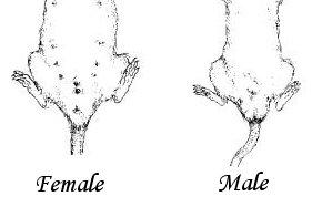 Как определить пол крысы