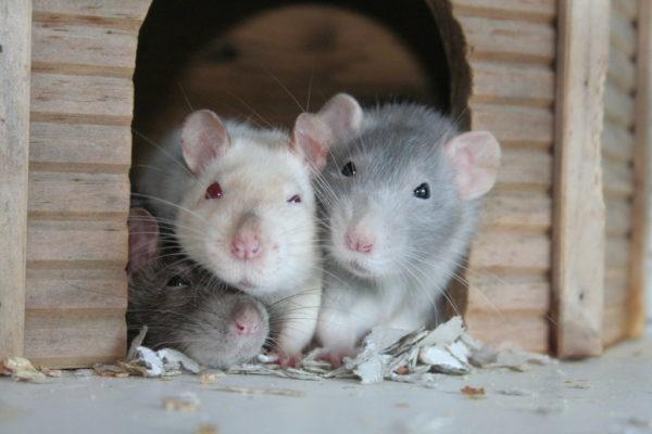 Много крыс