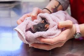 Крыса заболела