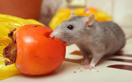 Крыса ест хурму