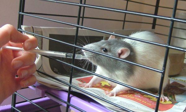 Крысе дают лекарство через шприц
