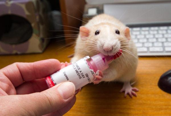 Крысы лижет лекарство