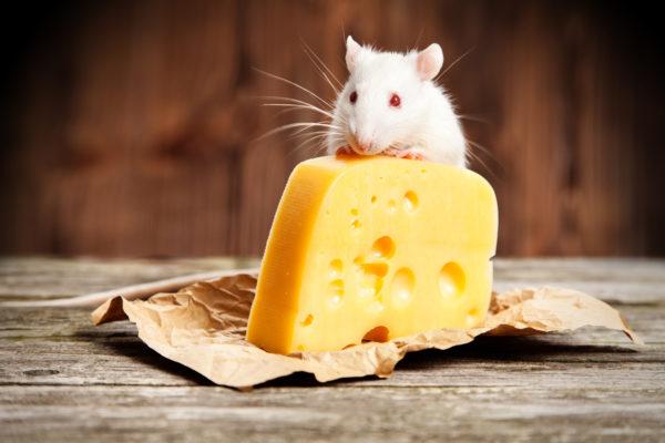 Крыса и большой кусок сыра