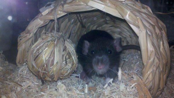 Плетеный домик для крысы
