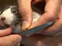 Обрезание ногтей крысе пилкой