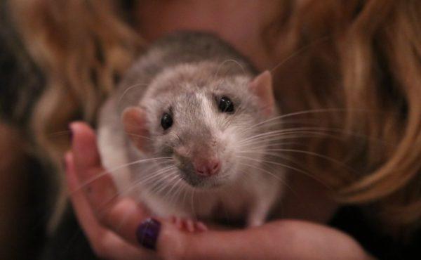 Милая крыса сидит на ладони