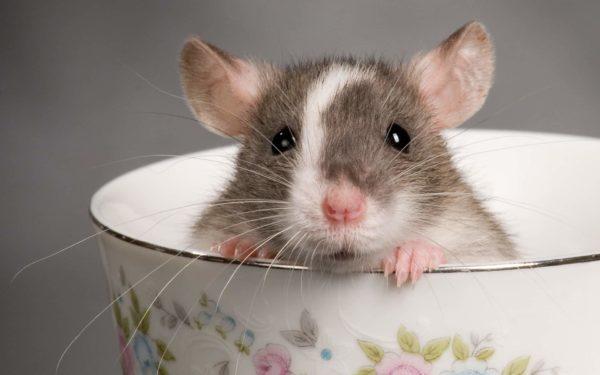 Крыса дамбо с заостренными ушами