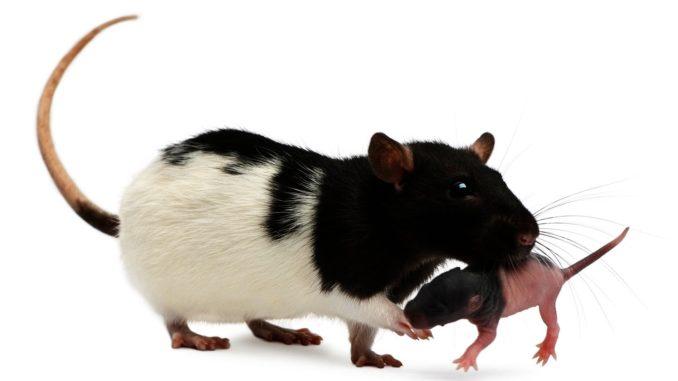 Крыса несет крысенка