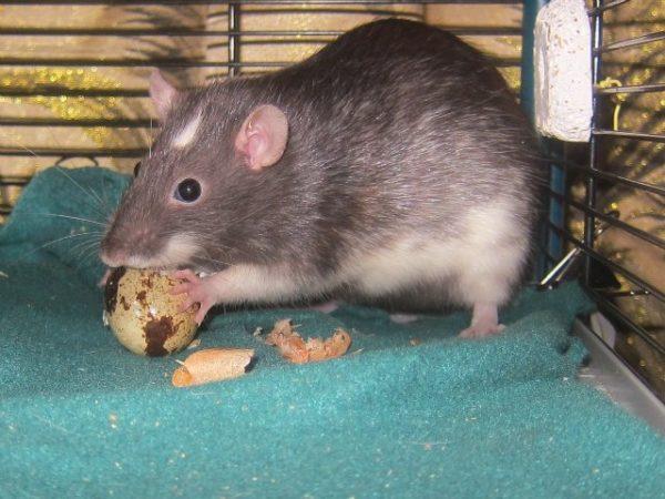 Крыса ест яйцо