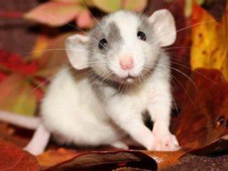 Ушастая крыса