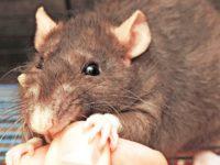 Домашняя крыса кусает за пальцы