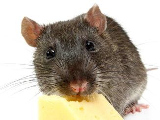 Домашняя крыса и сыр