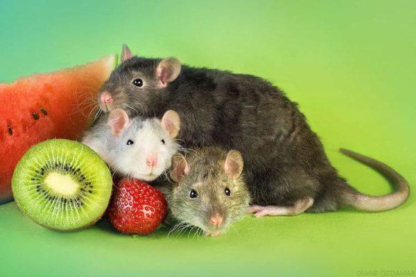Крысы и фрукты