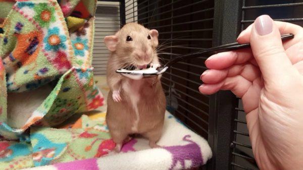 Крысу кормят йогуртом