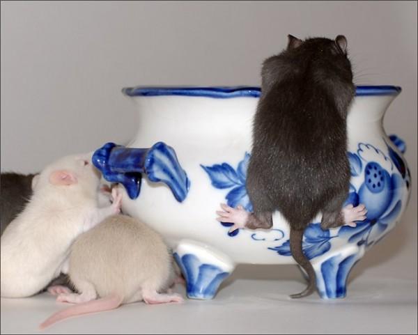 Крысята лезут в миску за молоком
