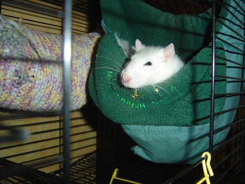 Гамак для крысы из старого капюшона