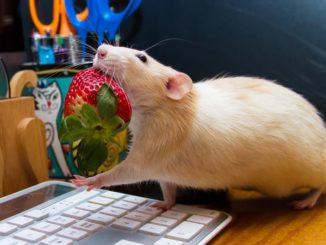 Крыса несет клубничку