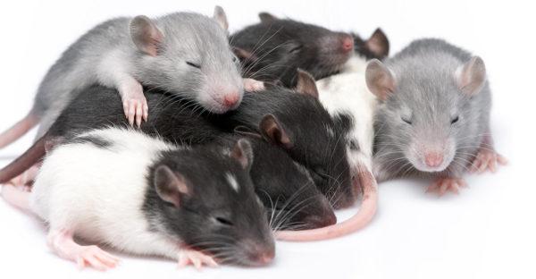 Развитие крысят на 16-18 день