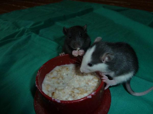 Крысята едят кашку